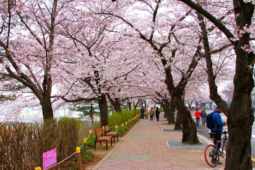 Private Charters to the 2019 Yeouido Cherry Blossom Festival